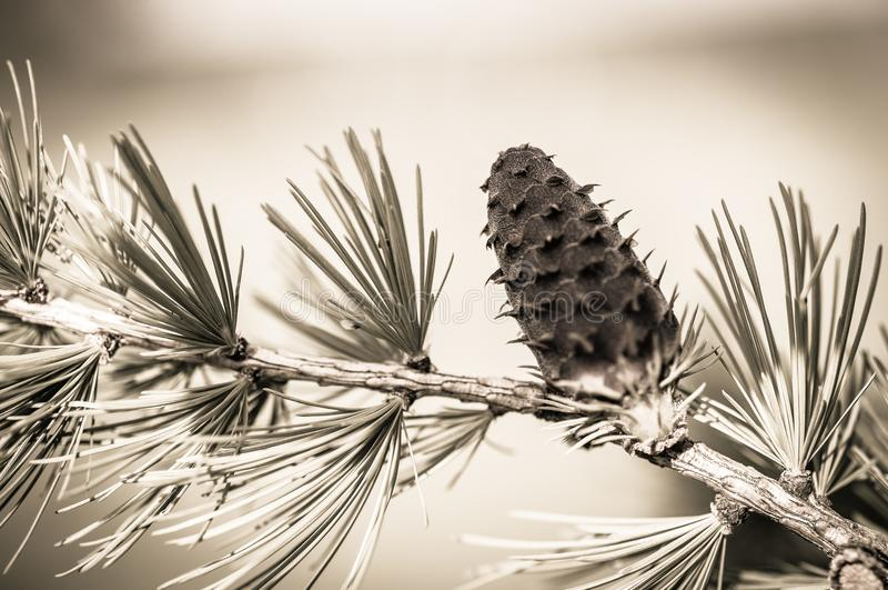 Une branche d'arbre de sapin et son cône de pin en noir et blanc et en gros plan image stock
