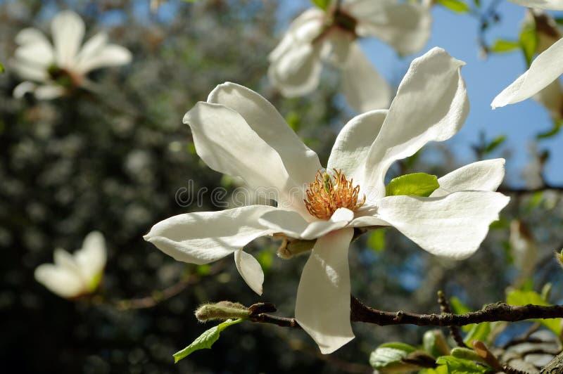 Une branche d'une magnolia de floraison images libres de droits