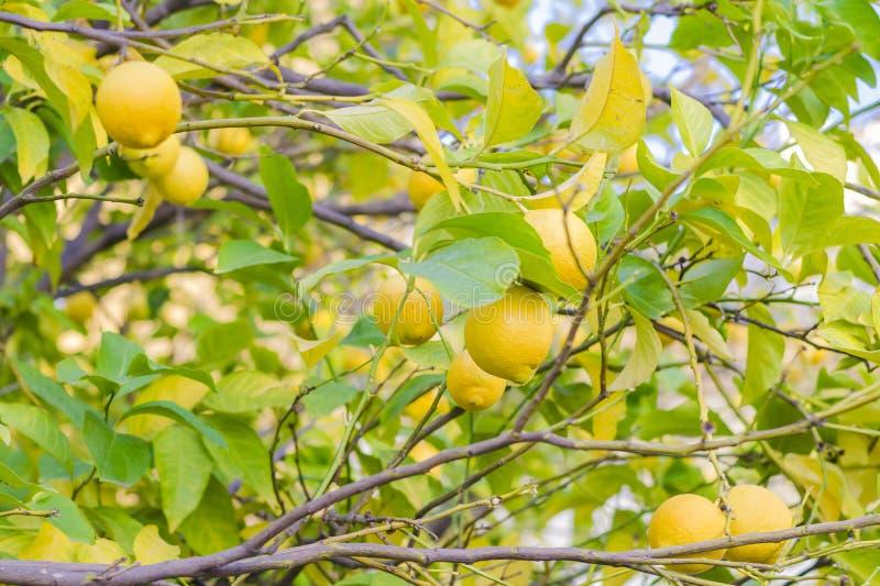 Une branche d'un arbre avec les citrons mûrs et les feuilles vertes dans le jardin Fond brouillé photos stock