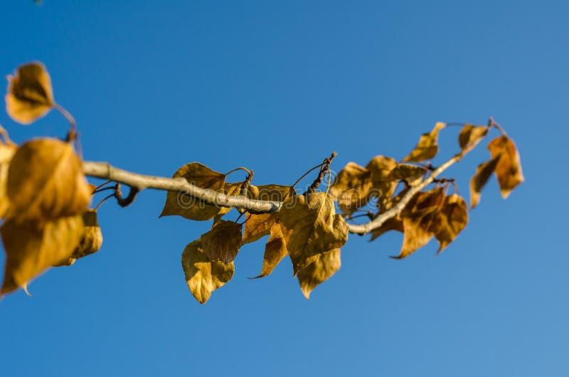 Une branche d'un arbre avec les feuilles jaunes dans la perspective du ciel bleu lumineux Foyer s?lectif blur images stock
