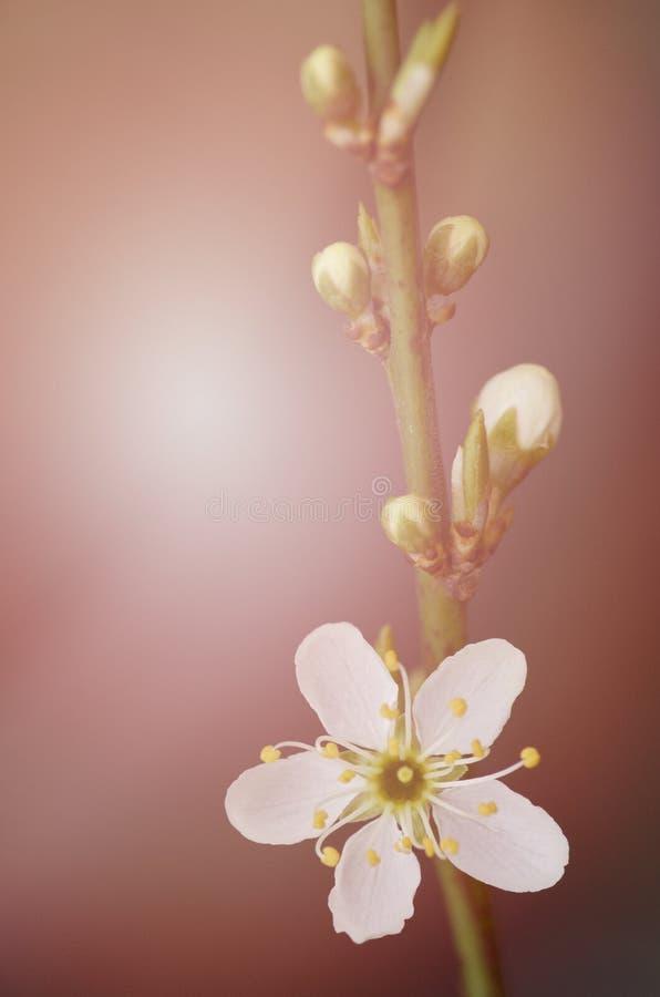 Une branche d'un arbre de floraison avec les fleurs blanches Floweri de ressort photos stock