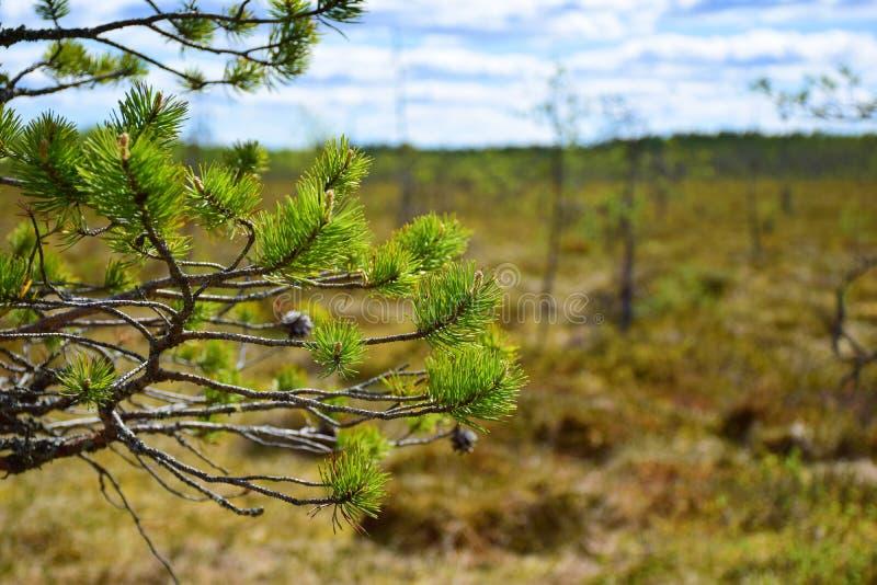 Une branche d'un pin photo libre de droits