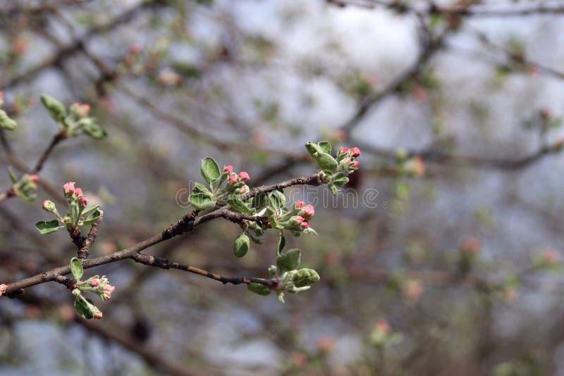 Une branche d'un pommier qui commence à fleurir avec les fleurs roses roses image libre de droits