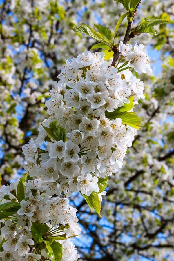 Une branche de cerise couverte par un groupe de fleurs blanches image stock