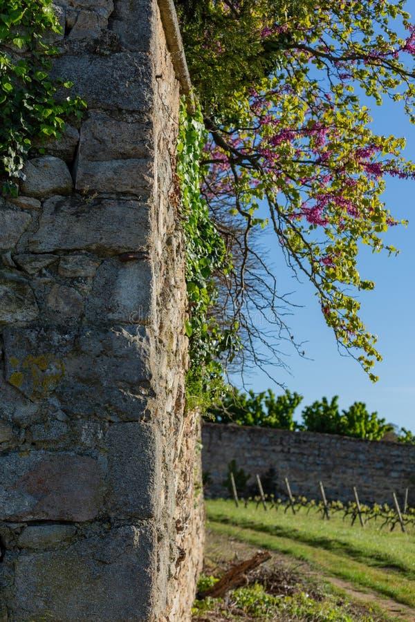 Une branche de floraison des fleurs rouges sur un vieux mur français médiéval au printemps Agriculture de vignobles Ciel bleu Ima photo libre de droits