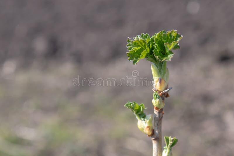 Une branche de groseille, plan rapproché Groseille dans le premier plan au foyer Le fond est brouillé image libre de droits