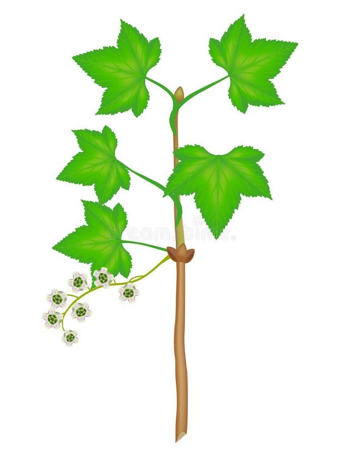 Une branche de groseille rouge avec des fleurs et des feuilles sur un fond blanc illustration libre de droits
