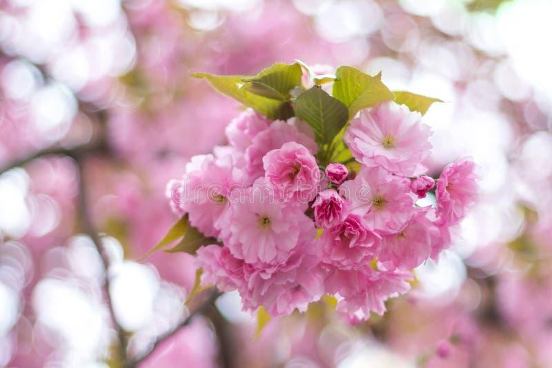 Une branche de la fleur de floraison de Sakura, cerise japonaise, sur un bokeh images stock
