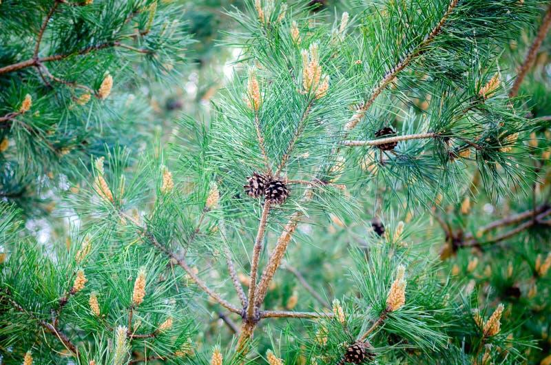 Une branche de pin avec le plan rapproché de cônes Fond naturel photos stock