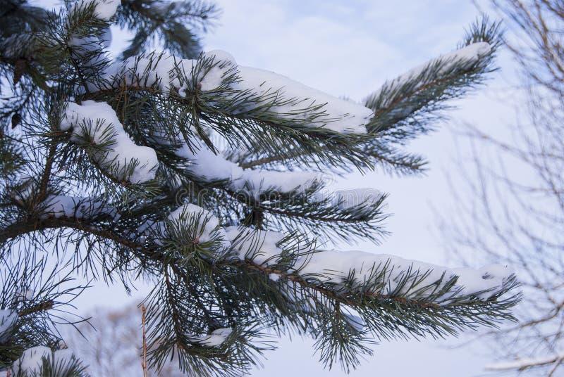 Une branche de pin couverte de couche pelucheuse de neige images libres de droits