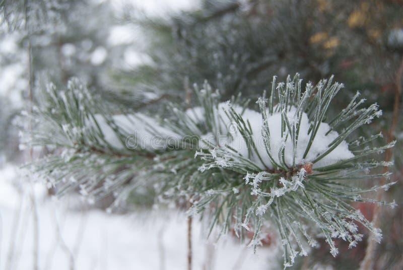 Une branche de pin couverte de gelée dans le gel lourd image stock