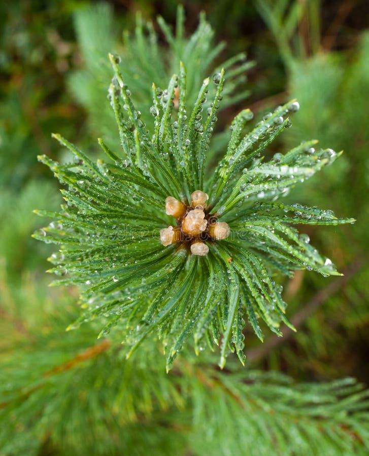Une branche de pin dans la glace photos libres de droits