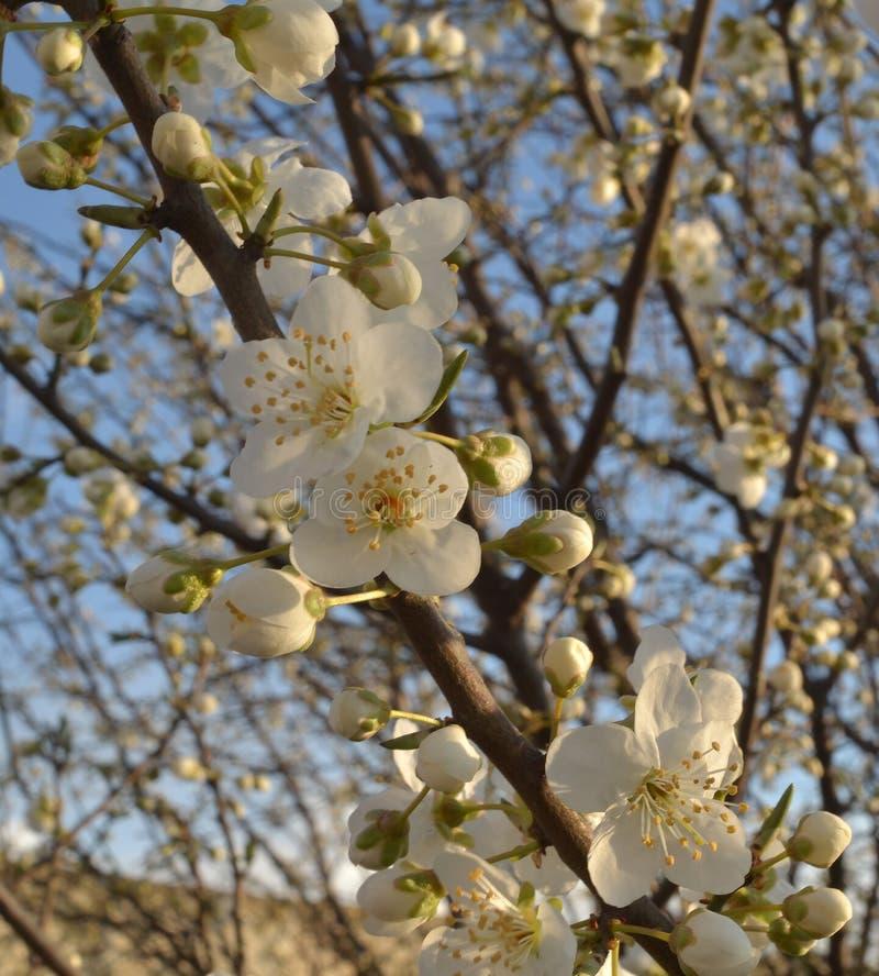 Une branche de prune de cerise avec des bourgeons et des fleurs ouvertes photos libres de droits