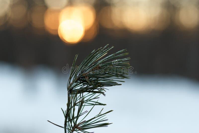 Une branche des aiguilles de pin couvertes de gel photo libre de droits