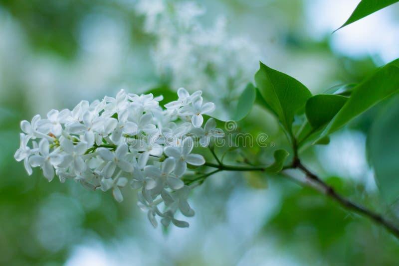 Une branche des fleurs lilas blanches photo libre de droits