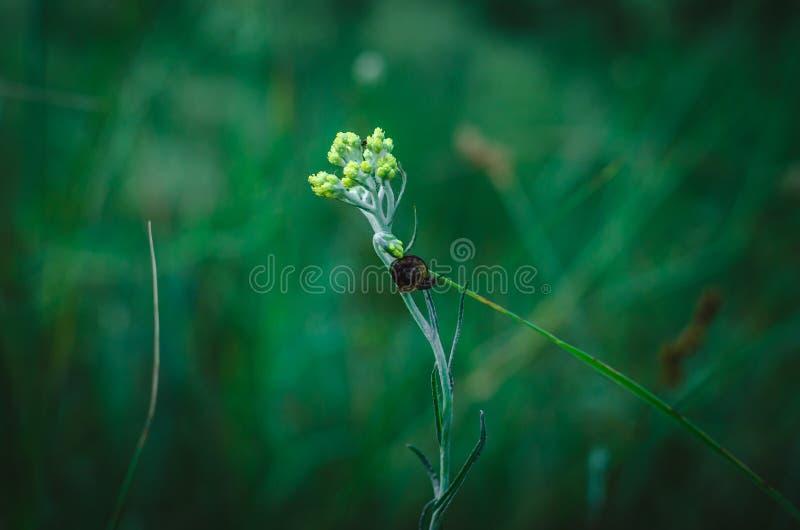 Une branche dont d'arenarium arénacé de Helichrysum d'immortelle le long un escargot rampe Sur l'escargot repose une mouche Macro photos stock