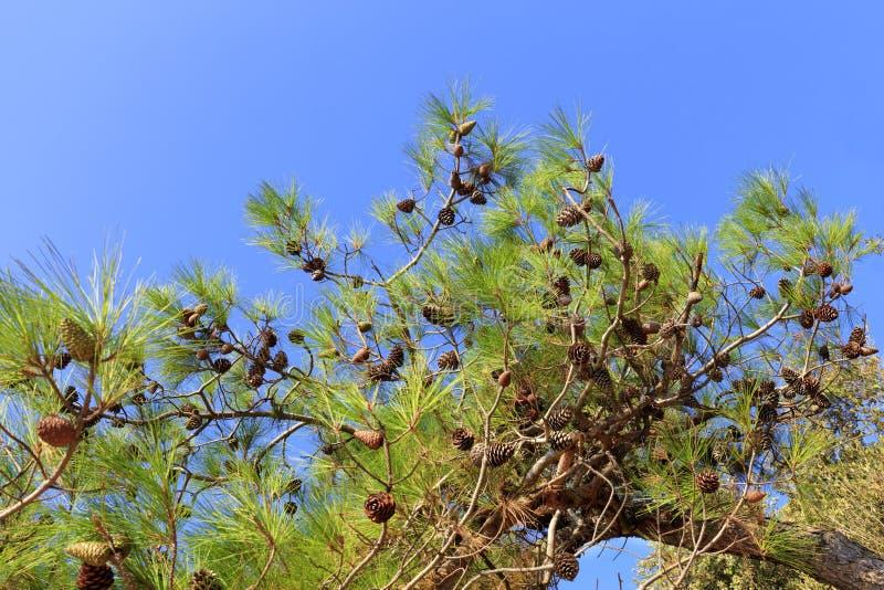 Une branche du sapin méditerranéen avec des cônes contre le ciel bleu photographie stock libre de droits