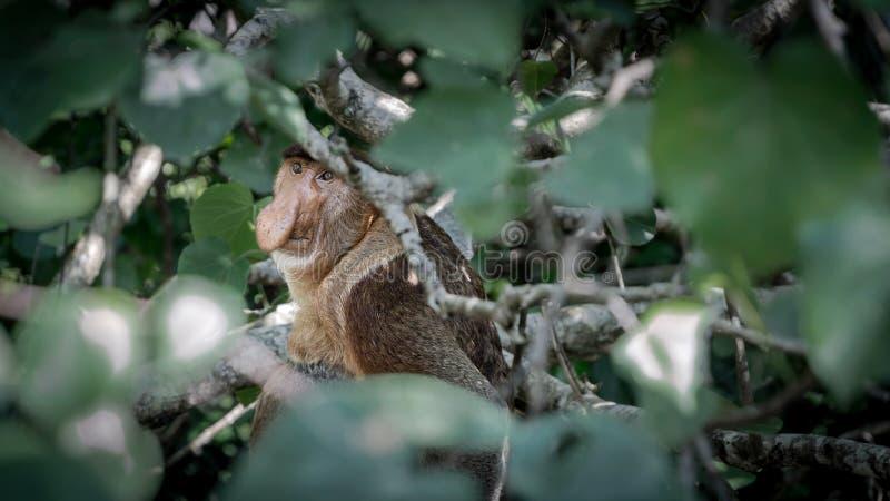 Une buse sauvage ou un long singe de nez dans les jungles du Bornéo regardant l'appareil-photo photos libres de droits