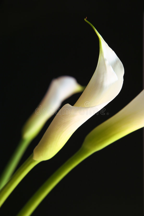 Une calla lilly images stock