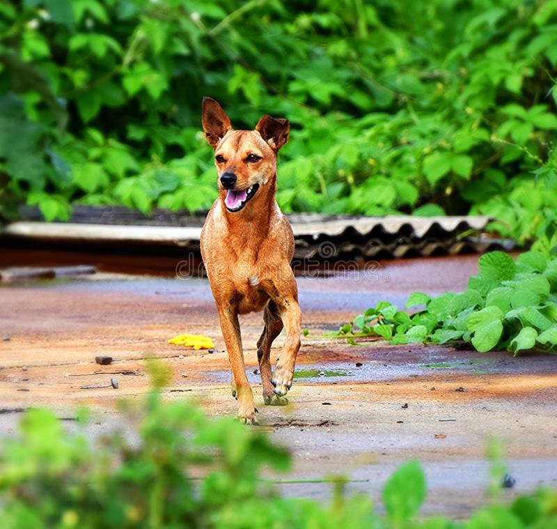 Une canine pompeuse photos stock