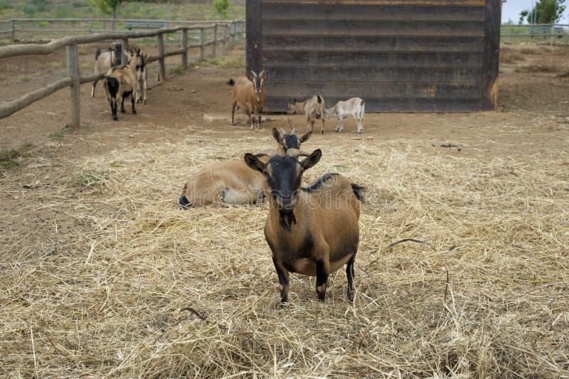 Une chèvre photos libres de droits