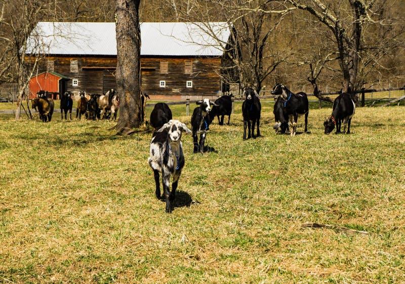Une chèvre amicale menant le groupe de chèvres photographie stock libre de droits