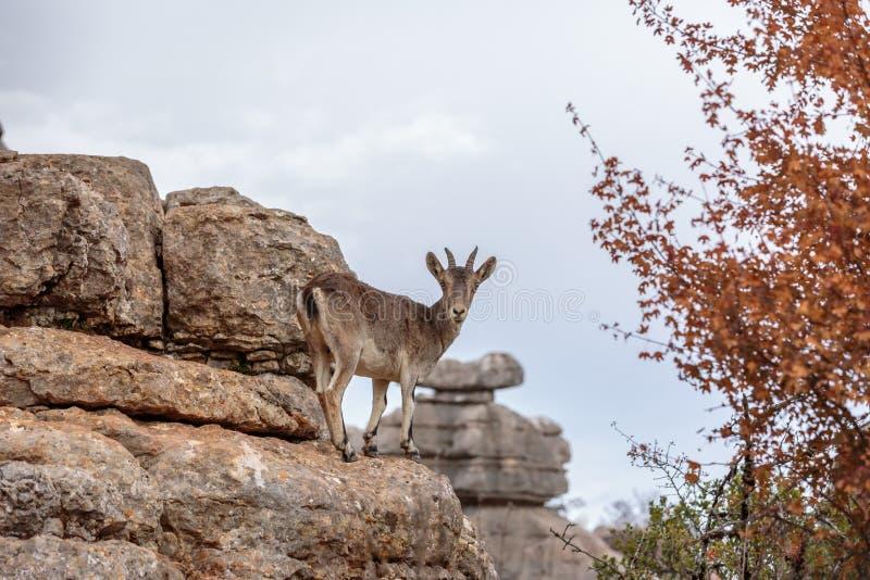 Une chèvre de montagne dans Torcal De Antequera, Espagne image libre de droits