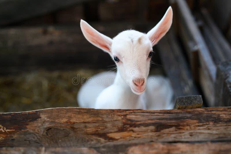Une ch?vre blanche de b?b? Bel enfant mignon de chèvre de bébé photos stock