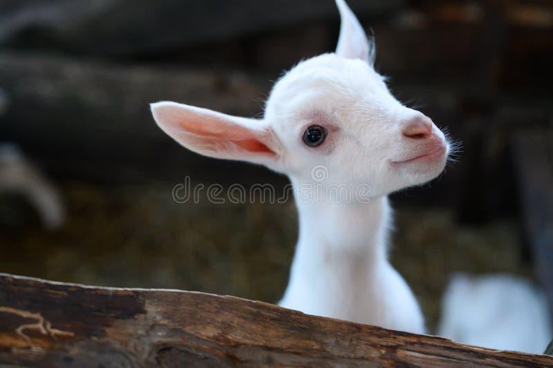 Une ch?vre blanche de b?b? Bel enfant mignon de chèvre de bébé photographie stock
