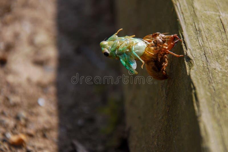 Une cigale jetant l'exosquelette de nymphe photo stock