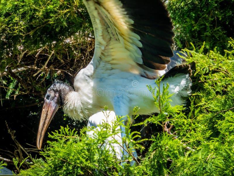 Une cigogne à la colonie de freux photos libres de droits