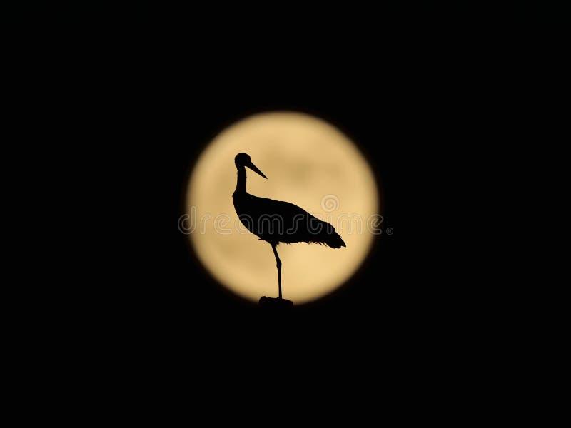 Une cigogne blanche devant la pleine lune image stock
