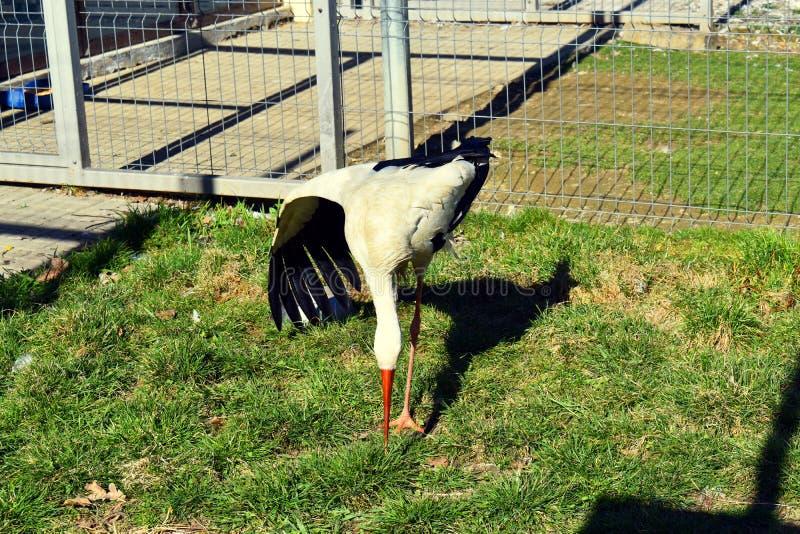 Une cigogne dans la cage au ZOO Oiseau sauvage en captivit? photos stock