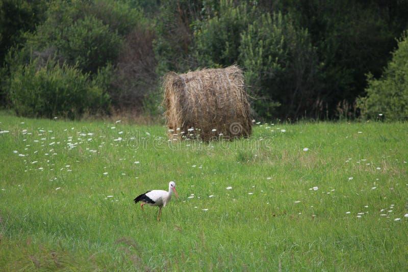 Une cigogne et une meule de foin village Lumi?re du jour Photographie d'?t? photos libres de droits