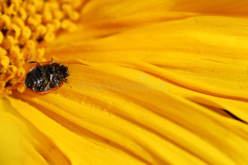 Une coccinelle renversée là-dessus ` s de retour couvert dans le pollen sur un tournesol image stock
