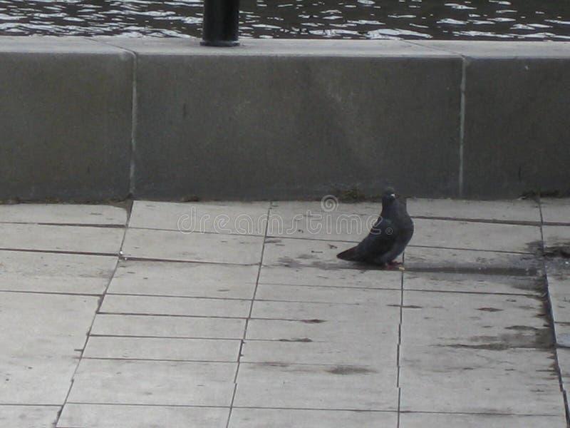 Une colombe au remblai photographie stock