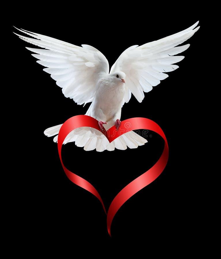 Une colombe blanche de vol libre d'isolement sur un noir images stock