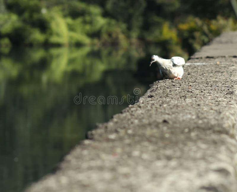 Une colombe blanche regarde une plaine photo libre de droits