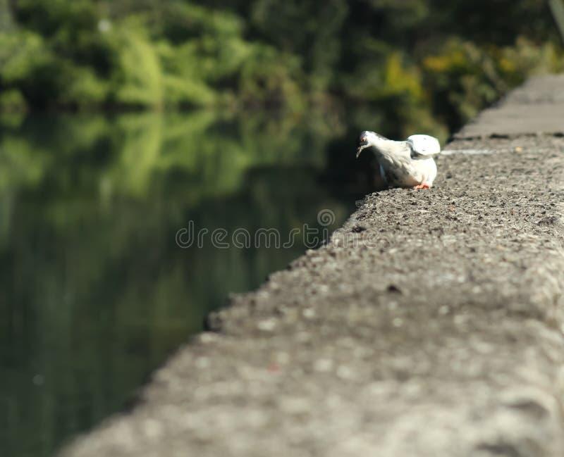 Une colombe blanche regarde une plaine image stock