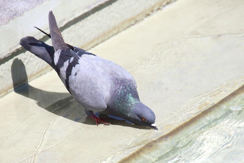 Une colombe est eau potable  photographie stock
