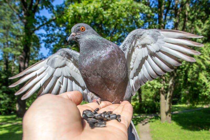 Une colombe grise se repose sur un bras et regarde dans l'appareil-photo images libres de droits