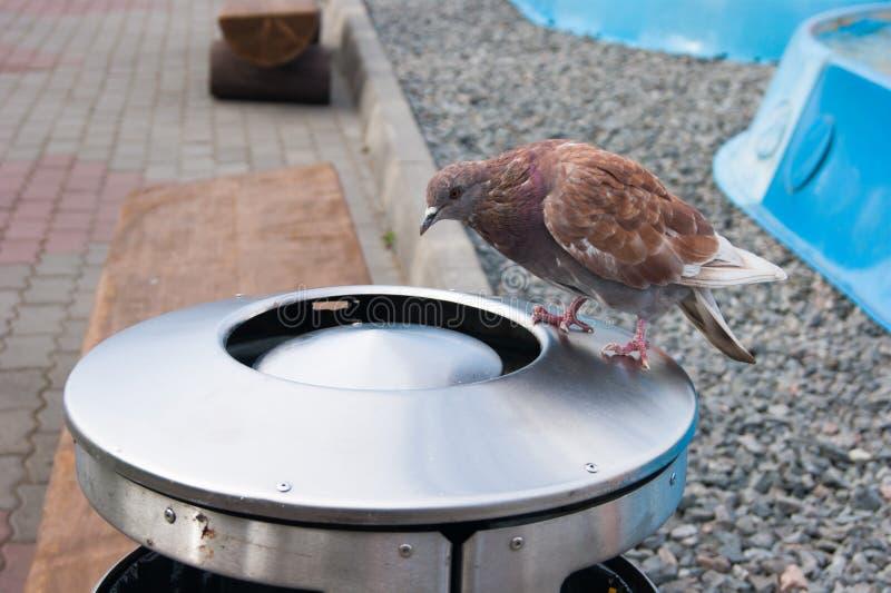 Une colombe rouge se repose sur une grande urne et des recherches en métal de quelque chose savoureuse là Photo de reportage de r images stock