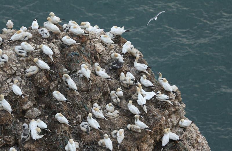 Une colonie de multiplication de fou de Bassan magnifique, bassanus de Morus, nichant sur des falaises au R-U photo stock