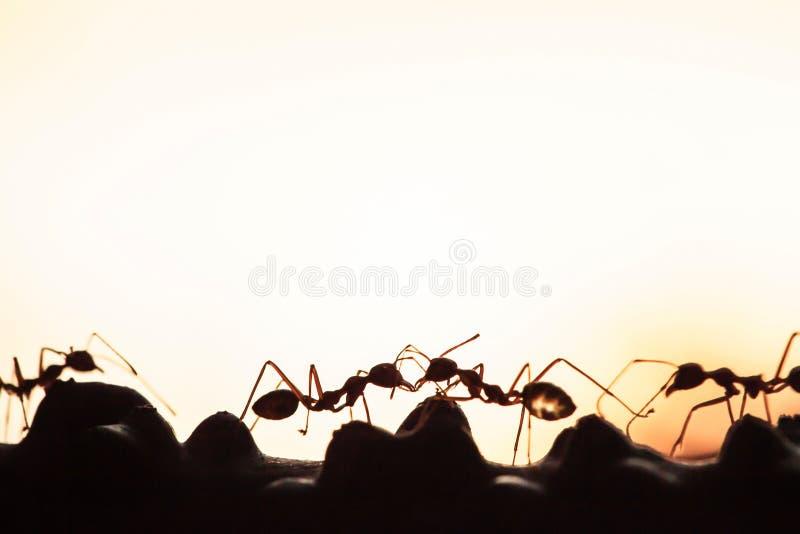 Une colonie des fourmis vertes ayant une conversation dans une vigne, r?sum? transparent de la forme des fourmis au cr?puscule, f image libre de droits