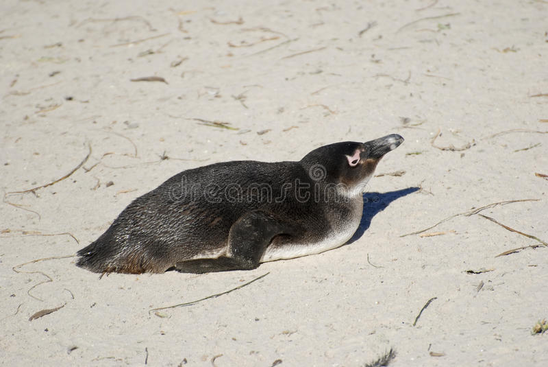 Une colonie des pingouins d'âne africains image stock