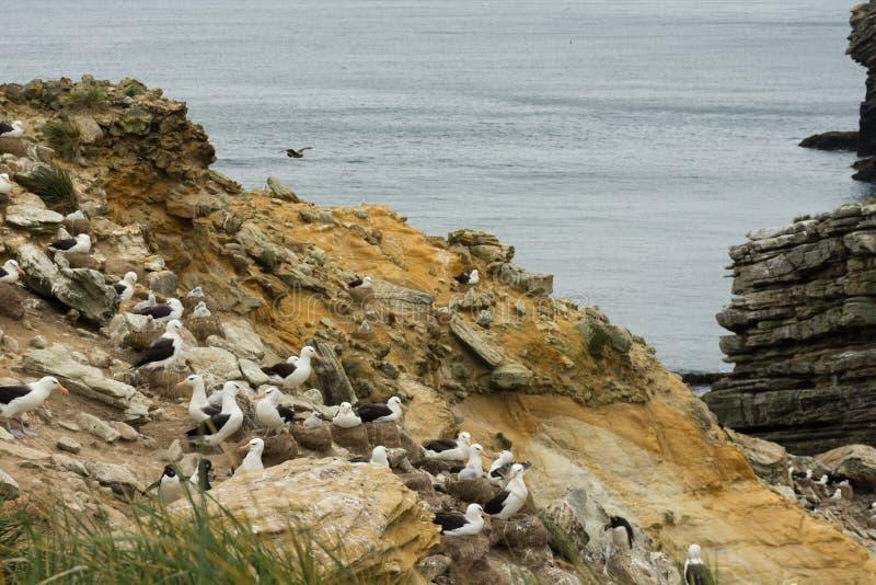 Une colonie Noir-Browed d'albatros sur un flanc de coteau raide en Malouines photographie stock libre de droits