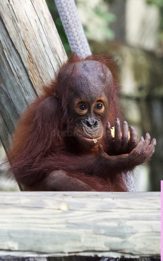 Une consommation d'orang-outan de bébé image stock