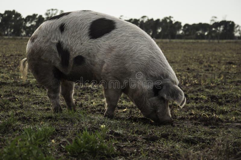 Une consommation de porc photos libres de droits