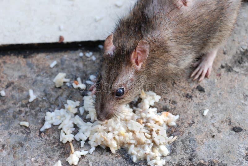 Une consommation de rat image libre de droits