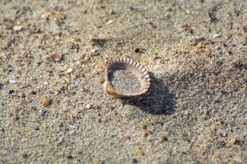 Une coquille de mer sur une plage de sable à proximité images libres de droits
